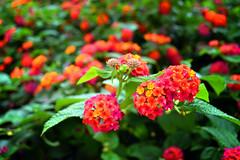 Woman's heart (AngieShiva) Tags: flowers red italy orange flower macro green nature leaves garden reflex nikon colours dof bokeh explore nikkor puglia d3100 elettroshiva ilobsterit