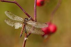 (evisdotter) Tags: macro nature insect dragonfly bokeh dew dagg sooc slända
