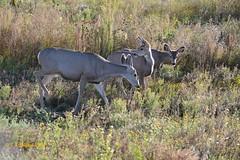 October 3, 2014 - Deer graze at the Rocky Mountain Arsenal. (Ed Dalton)