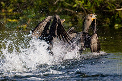 Cormorants Fighting-0874-3 (dennis.zaebst) Tags: usa birds florida everglades cormorant anhingatrail naturethroughthelens ©denniszaebstallrightsreserved