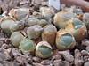 DSCF0123 (BobTravels) Tags: plant stone bob lithops lithop messem bobwitney