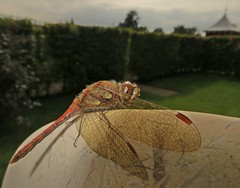 Protecting your territory (Dazzygidds) Tags: nationaltrust warwickshire ruddydarter dragonflywings redtips ukdragonfly wingsofbeauty coughtoncourtgardens warwickshiredragonfly