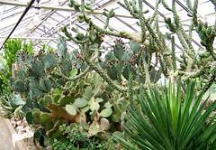 Cacti (Will S.) Tags: cactus usa ny newyork gardens america cacti buffalo conservatory southpark botanicalgardens mypics olmsted fredericklawolmsted buffaloanderiecountybotanicalgardens