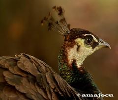 Pavo Real (amajocu) Tags: parque espaa fauna real spain nikon gijn asturias aves isabel pavo catlica d5100