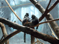 """Ring-tailed Lemurs huddled • <a style=""""font-size:0.8em;"""" href=""""http://www.flickr.com/photos/34843984@N07/15516186796/"""" target=""""_blank"""">View on Flickr</a>"""