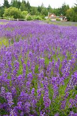 Sacred Mountain Lavender Farm (jasonhedlund) Tags: travel flowers vacation usa canada tourism van