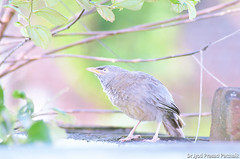 Jungle_babbler_03 (Jyotiprasads) Tags: birds commonbirds birdsofodisha odishabirds