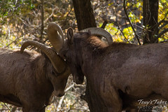 Bighorn rams push each other