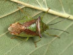 Acanthosoma haemorrhoidale,  Hawthorn Shieldbug, Oaks Wood, Cambourne, Cambridgeshire   DSC_1122 (Cladoniophile) Tags: