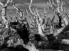 Epecuen. Aun de pie. (sbstnhl - Siti) Tags: bw naturaleza blanco lago arboles sony inundacion negro bn sal dsch2 epecuen