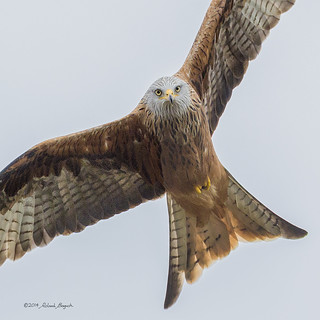 Full frontal - Red Kite in flight