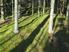 Novemberskog (Ole Husby) Tags: november norway forest norge shadows skog gran spruce skygger melhus