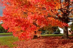Sugar Maple Blind (hpaich) Tags: autumn red color tree fall crimson leaves season leaf newjersey maple vibrant nj foliage jersey sugarmaple