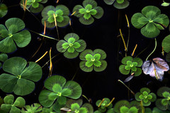 Water clover, Marsilea mutica (holdit.) Tags: plant pond aquatic marsileamutica waterclover