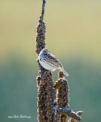 savannah sparrow (Pattys-photos) Tags: idaho marsh wren marketlakewildlifemanagementarea