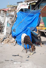 Hungry Goat - Fishing Harbor - Jamestown - Accra (jrozwado) Tags: africa goat ghana jamestown accra fishingharbour fishingharbor
