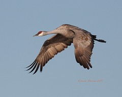 Sandhill crane's enormous grace (Victoria Morrow) Tags: