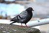 Pigeon view (Rick & Bart) Tags: italy naples vicoequense vogel bird pigeon duif rickvink rickbart canon eos70d italia