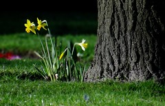 The Beauty of Spring. March 2017 (SimonHX100v) Tags: daffodils nature narcissus trees tree flowers flora fauna plant spring2017 spring season simonhx100v sonydschx100v sonyhx100v woodthorpepark woodthorpegrangepark woodthorpe nottingham nottinghamshire outdoor outdoors outside yellow green colourful colorful