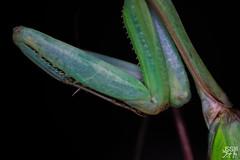 Hierodula membranacea - (Giant Asian mantis) - Macro (jss98photography) Tags: asian mantis hierodula membranacea insect insects animal nature dark macro porst mc 75260mm f45 giant nikon d5300 makro schwarzer hintergrund pflanze laub blatt tier insekt schärfentiefe