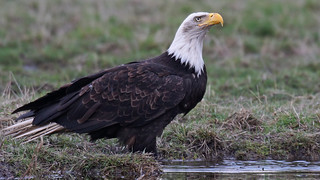 Bald Eagle Drinking