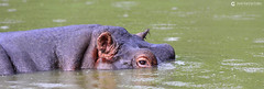 16-09-26 Uganda-Rwanda (275) Queen Elizabeth R01 (Nikobo3) Tags: áfrica uganda queenelizabethnationalpark canaldekazinga animales animals hipopótamo naturaleza travel viajes nikon nikond800 d800 nikon7020028vrii tc14eiii nikobo joségarcíacobo flickrtravelaward ngc vidasalvaje