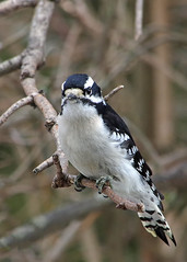 Downy Woodpecker (Bruce Bolin) Tags: picoidespubescens dryobatespubescens