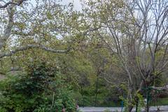 Ψίνθος (Psinthos.Net) Tags: ψίνθοσ psinthos march spring μάρτησ μάρτιοσ άνοιξη φύση nature springstorm ανοιξιάτικηκαταιγίδα καταιγίδα μπόρα storm road δρόμοσ wetroad βρεγμένοσδρόμοσ άνθη blossoms μπουμπούκια buds rosebuds τριανταφυλλιά τριαντάφυλλα roses rosebush pinkroses ρόζτριαντάφυλλα πεζοδρόμιο sidewalk pavement πλακόστρωτο βρύση βρύσηψίνθου βρύσηψίνθοσ περιοχήβρύση vrisi vrisiarea vrisipsinthos planetree πλάτανοσ δέντρο tree cloudy cloudiness συννεφιά σύννεφα νέφη clouds βροχερήμέρα rainingday μώβδέντρο purpletree valley psinthosvalley κοιλάδα κοιλάδαψίνθου κοιλάδαψίνθοσ