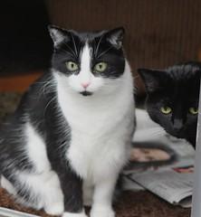 All eyes on the deer (anneescott) Tags: cat cats animals felines