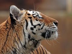 amurtiger Colinda Ouwehands BB2A1630 (j.a.kok) Tags: amurtiger amoertijger tijger tiger siberischetijger siberiantiger pantheratigrisaltaica kat cat asia azie colinda ouwehands ouwehandsdierenpark