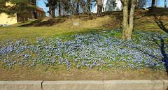 En backe full med Skilla Katrineholm 2017-04-04 (Explored April 4 2017) (Torgil Jarnling) Tags: en backe full med skilla katrineholm 20170404 scilla flowers natur vår spring