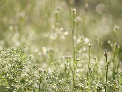 Fraicheur printanière (Titole) Tags: bokeh weeds titole nicolefaton droplets dew nigelle