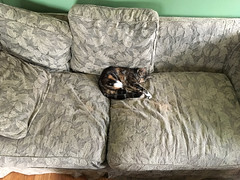 Acute (Voxphoto) Tags: cat casavox newbie kitty shelter torbie sofa acutelycute melanie caramelswirl