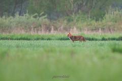 renard se baladant dans le près (photopierrot44) Tags: renard champs printemps près roux fox nikon nature sauvage extérieur