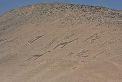 Geoglifos del Valle de Azapa / Geoglyphs from Azapa Valley (Javiera C) Tags: chile arica patrimonio heritage geoglifos geoglyphs antiguo old cultura culture cerro hill ladera hillside symbol símbolo desert desierto