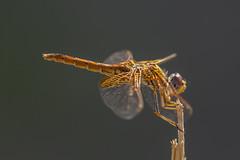 ♀ Golden Portrait (jrosvic) Tags: dragonfly trithemiskirbyi sierraespuña totana murcia odonata odonato libélula dragonflies anisoptera anisoptero entomology entomologia orangewingeddropwing scarletrockglider kirbysdropwing libellulidae nikond2xs nikonafs300mmf4