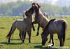 Young Konik Stallions (PAPERCUTSKIN) Tags: stallion stallions fight horse pony oostvaarderplassen nature wild koni konik