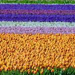 Tulip field thumbnail