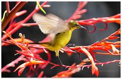Next stop - 1100159 (willfire) Tags: willfire singapore birds olive backed sunbird