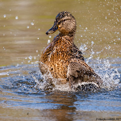 daisy the dancing duck (blackfox wildlife and nature imaging) Tags: canon mallard burtonmerewetlandsrspb wirral