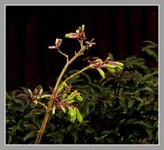 Spring has Sprung.!! (ro-co) Tags: fz200 panasonic acers spring trees