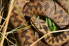 female adder, Vipera berus, in situ (willjatkins) Tags: snakes snake snakesofeurope adder viperaberus viper vipera northernviper ukwildlife uksnakes ukreptilesandamphibians ukamphibiansandreptiles ukreptiles uksnake ukherpetofauna britishwildlife britishamphibiansandreptiles britishreptilesandamphibians britishreptiles britishsnakes britishherpetofauna britishherps londonwildlife londonreptiles londonsnakes closeupwildlife closeup macro macrowildlife nikond7100 sigma105mm signsofspring springwildlife