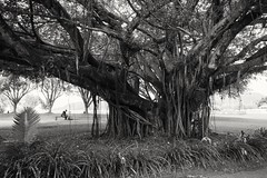 (earthly magic 11) Tags: cairns australia fig tree treeoflife nature green man seat monochrome blackandwhite