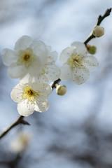 IMG_2393cr (2)s (kenta_sawada6469) Tags: flower flowers spring nature macro colors japan ume japaneseapricot japanese