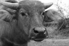 Inquisitive Buffalo 5 (Bob Hawley) Tags: nikond7100 nikon2870mmf3545afd asia pingtung taiwan outdoors xuhai animals bubalusbubalis domestic farming agriculture blackandwhite monochrome closeup faces