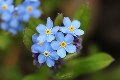 Vergissmeinnicht (notpushkin) Tags: forgetmenot blue hellblau spring