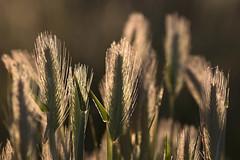 Espigas de primavera (ramosblancor) Tags: naturaleza nature plantas plants cereales cereals gramíneas espigas ears spikes contraluz backlight primavera spring madrid españa spain formas shapes