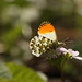 Orange Tip Butterfly on a Cuckoo flower