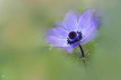 Anemone de caen Blue (leavesnbloom photography by Rosie Nixon) Tags: anemonedecaen flower windflower blue outdoors garden plant bloom single