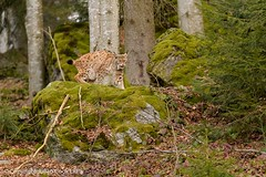 Eurasian lynx (Julian Cook Photography) Tags: animal bavaria bavarianforestnationalpark eurasianlynx europe forest germany lynx lynxlynx cat